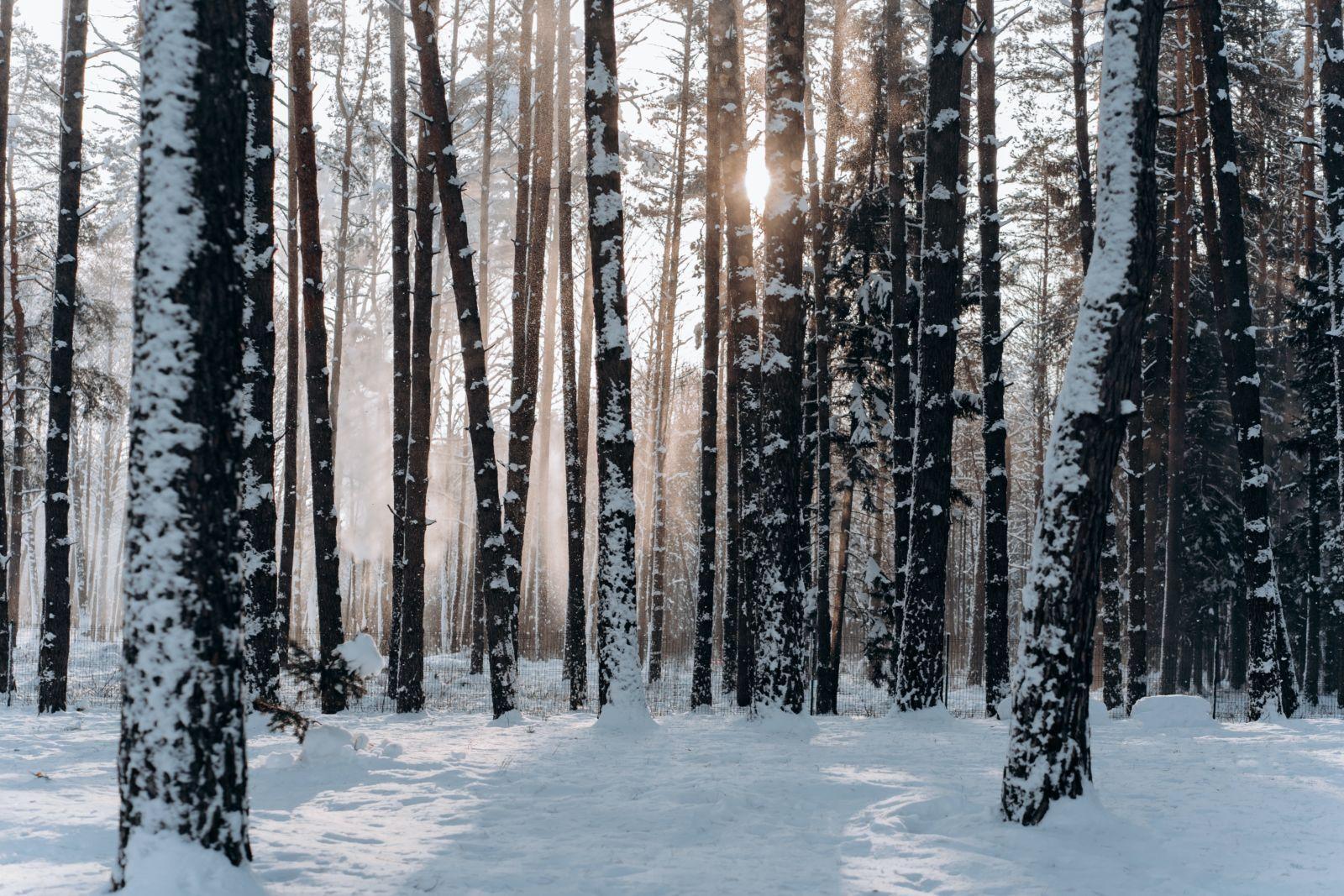 Aurinko pilkistää lumisen metsän puiden välistä.