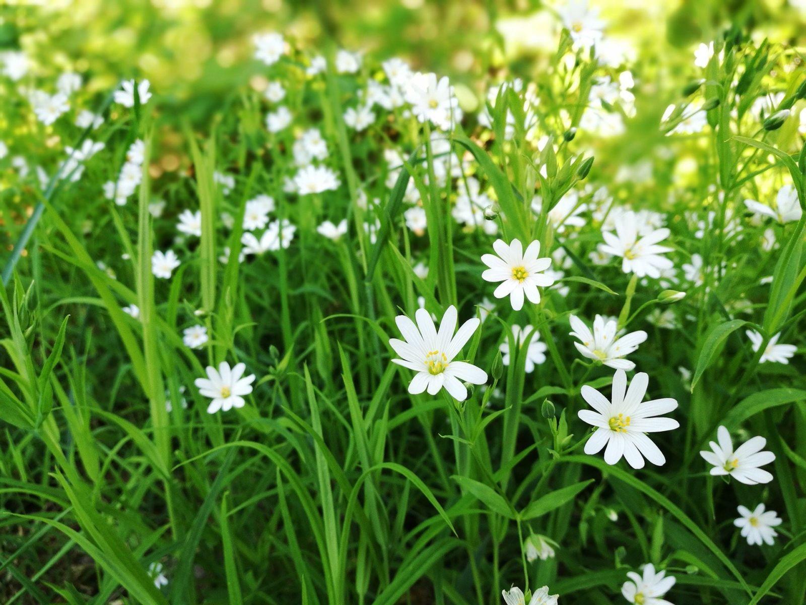 Valkoisia niittykukkia kasvaa aurinkoisella nurmella.